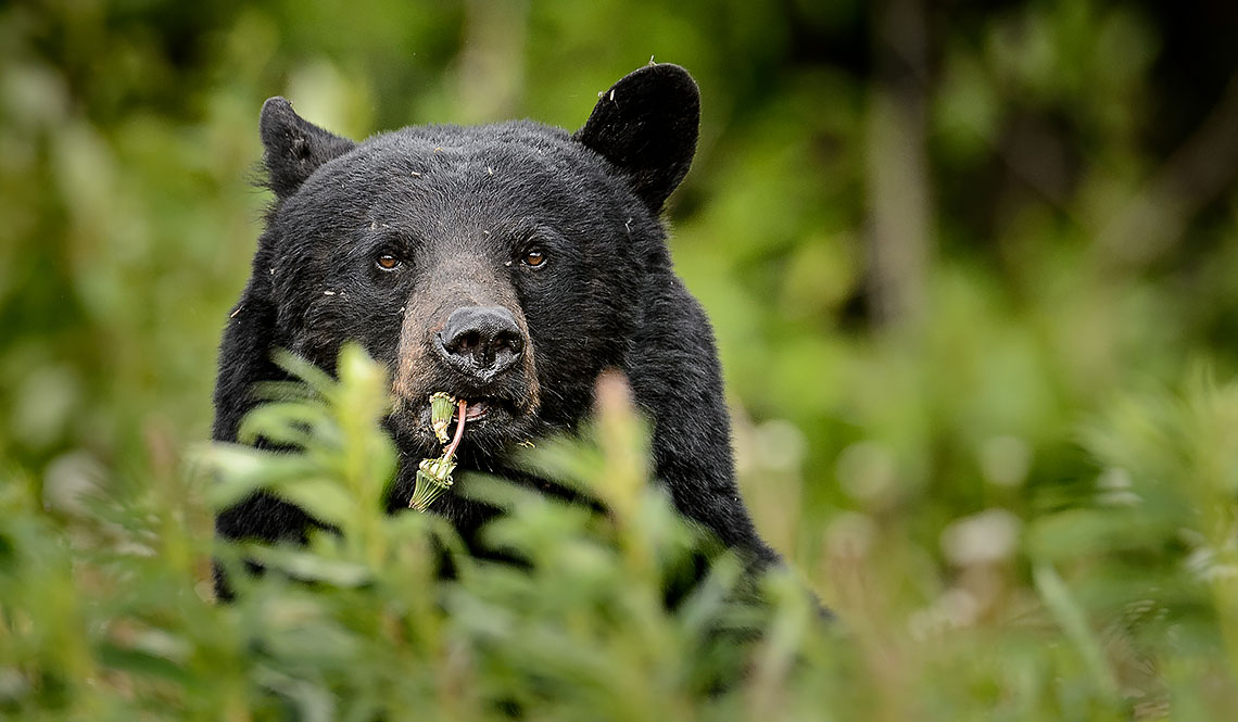What's for lunch? </br>How about dandelions says the black bear