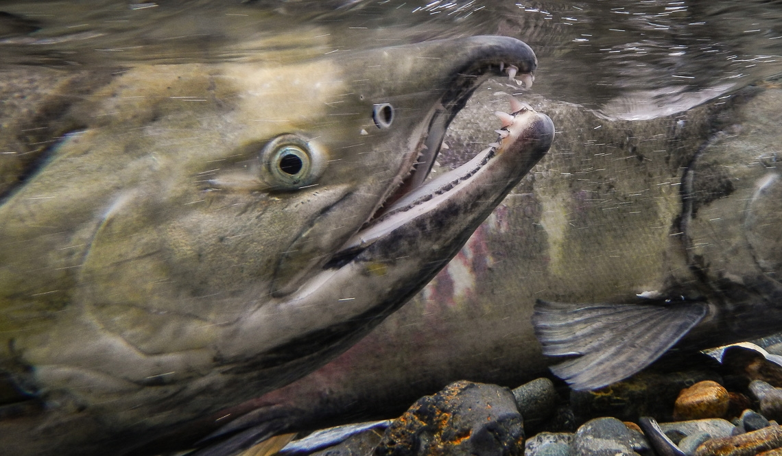 After years at sea, chum salmon return home to Herman Creek to spawn